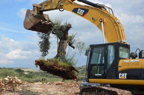uprooting-olive-tree.jpg
